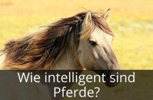 Wie intelligent sind Pferde?