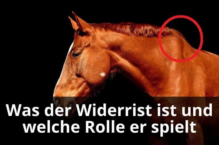 Widerrist beim Pferd erklärt